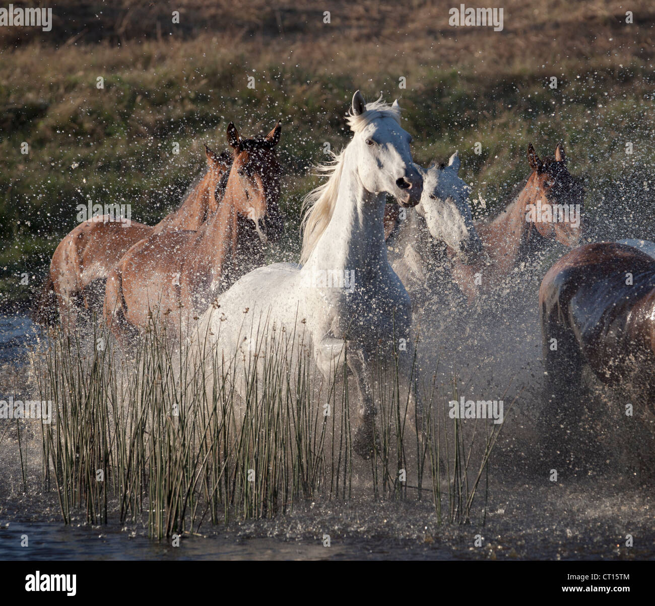Horses running through water - Stock Image