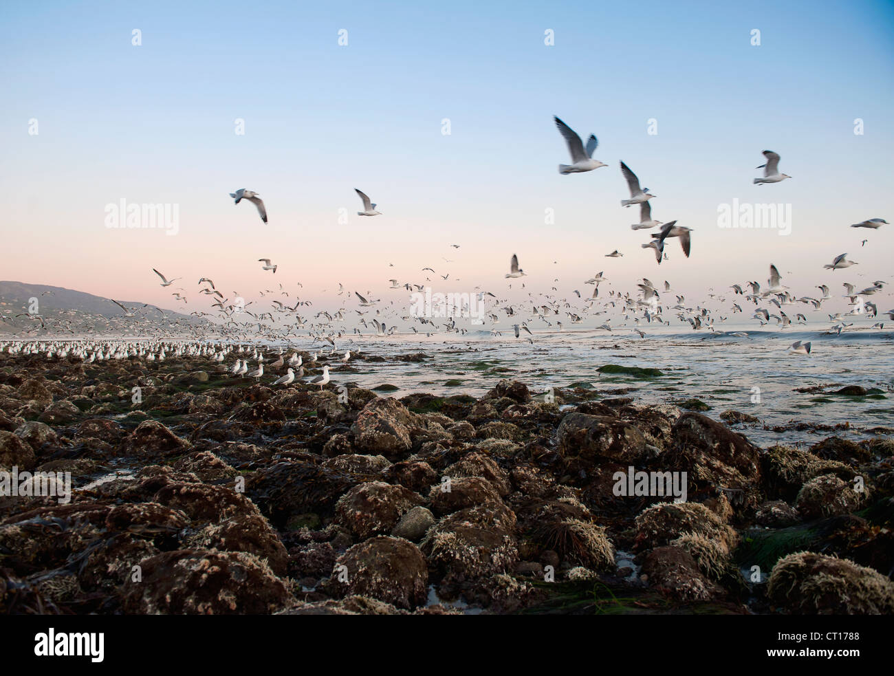 Seagulls flying over rocky beach - Stock Image