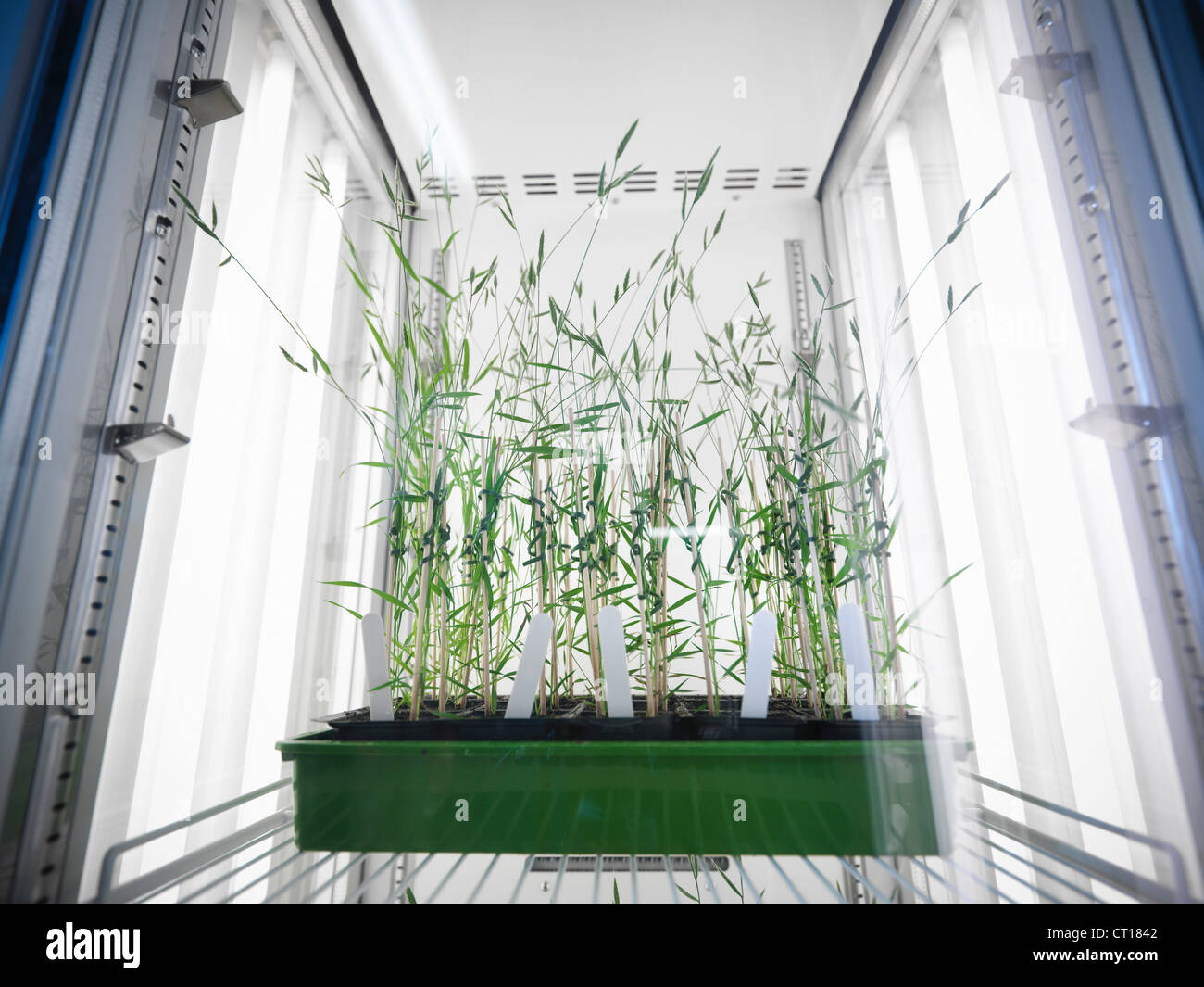 Plants growing in lab fridge - Stock Image