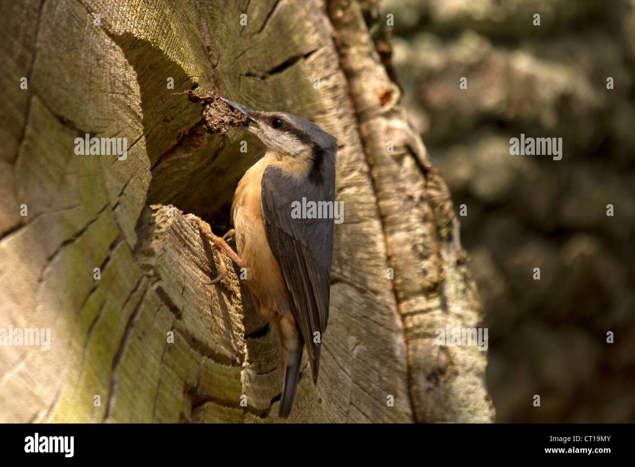 Nuthatch, Sitta europaea building its nest - Stock Image
