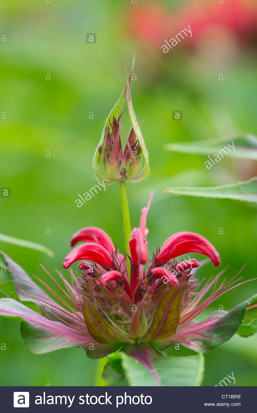 Monarda squaw red. Bergamot Squaw. Bee Balm Squaw - Stock Image