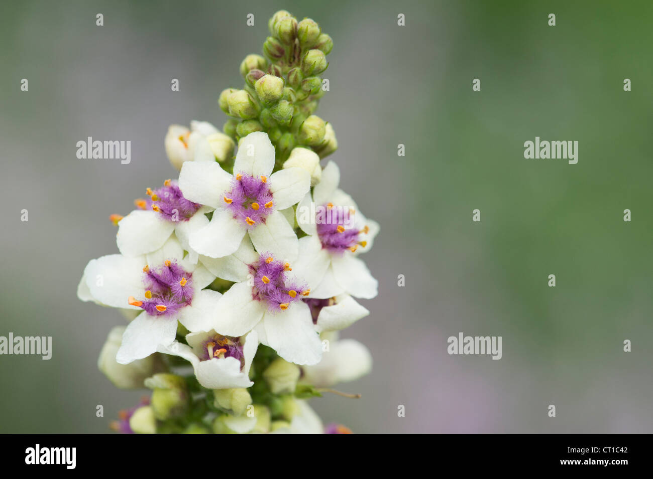 Verbascum chaixii 'Album'. White nettle-leaved mullein - Stock Image