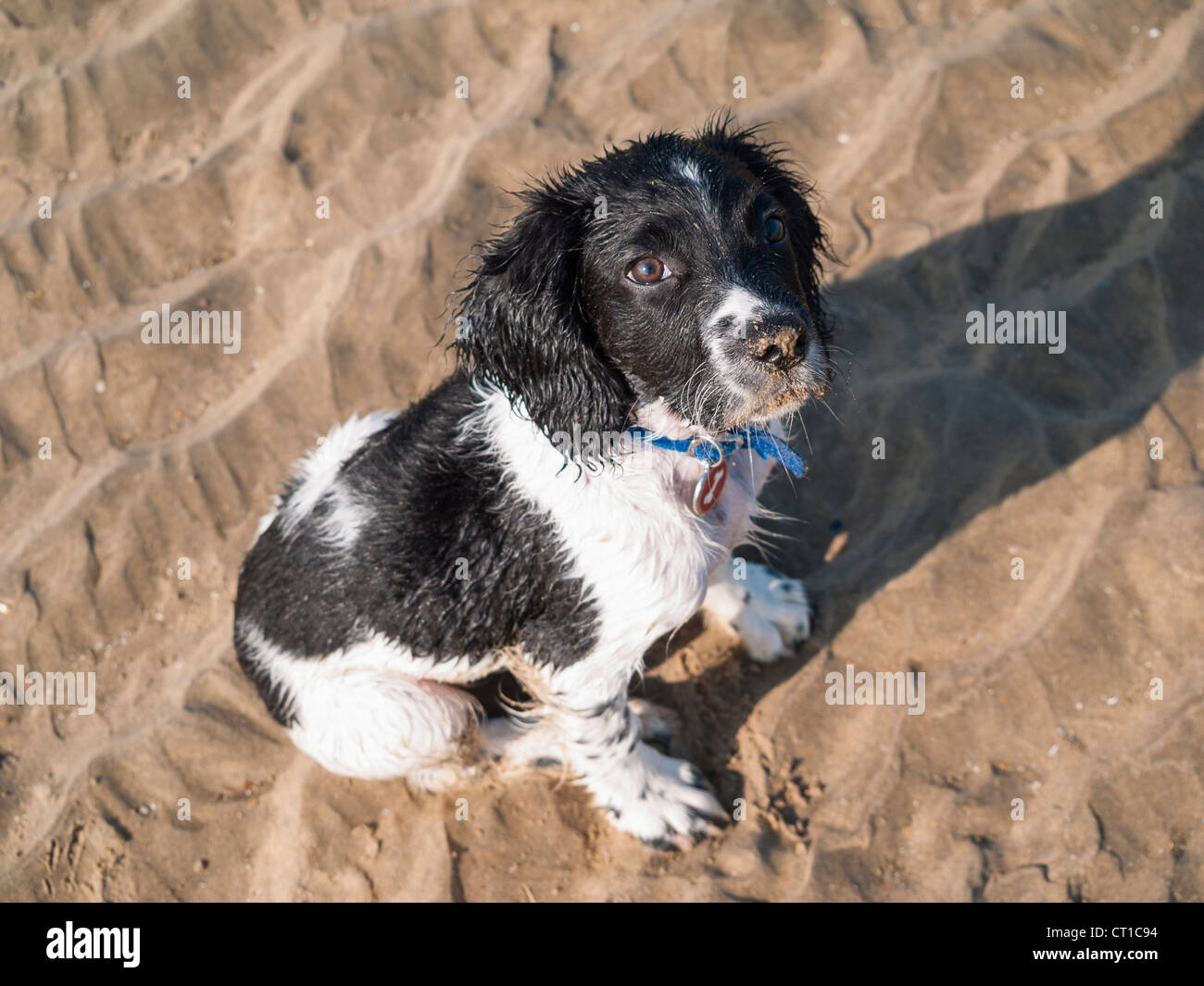 Cute Puppy Springer Spaniels High Resolution Stock Photography And Images Alamy
