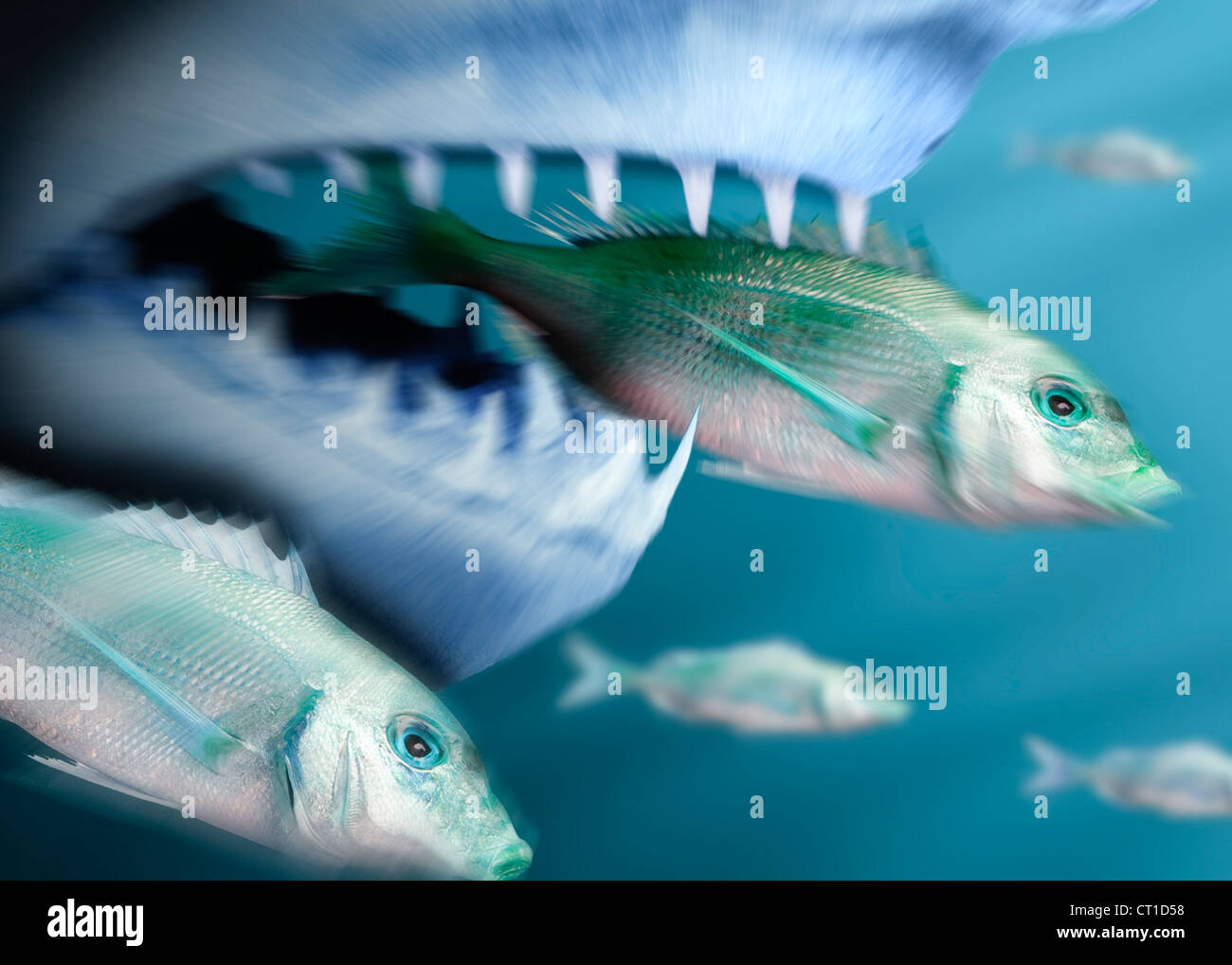Shark catches smaller fish - Stock Image
