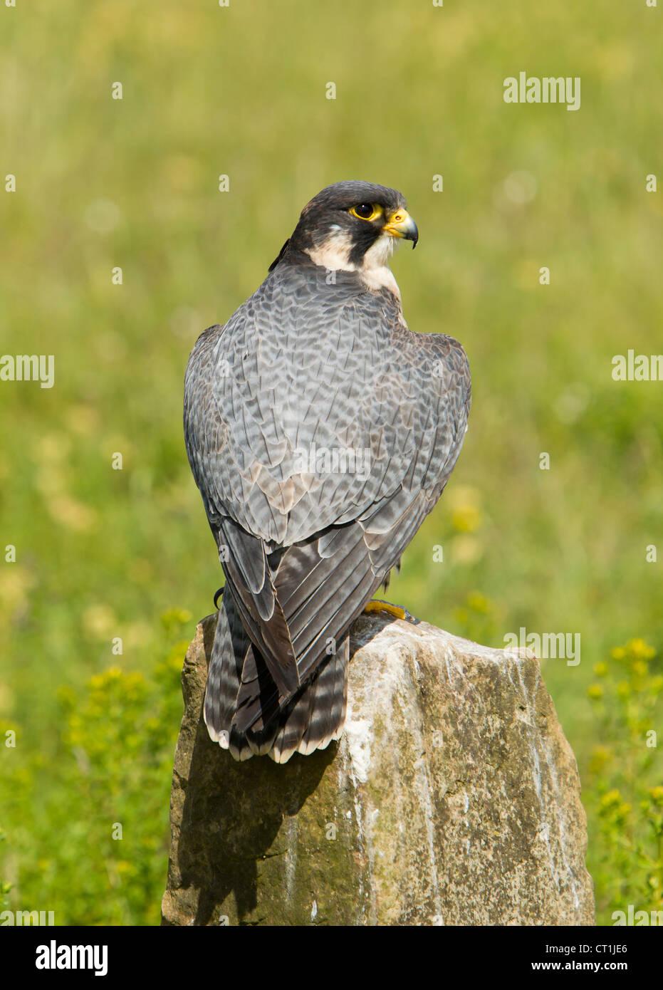 Peregrine Falcon Falco peregrinus captive shot at Hawk Conservancy Trust, Andover in June. - Stock Image