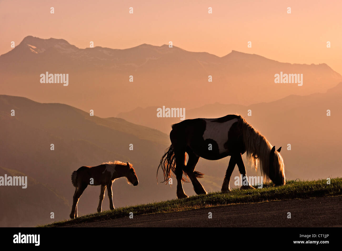 Free roaming horse with foal at sunset on the Col d'Aubisque in the Pyrénées-Atlantiques, Pyrenees, France Stock Photo