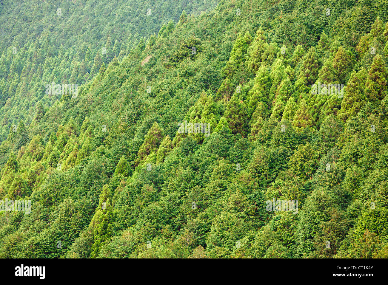 cryptomeria conifer forest background, Japan - Stock Image