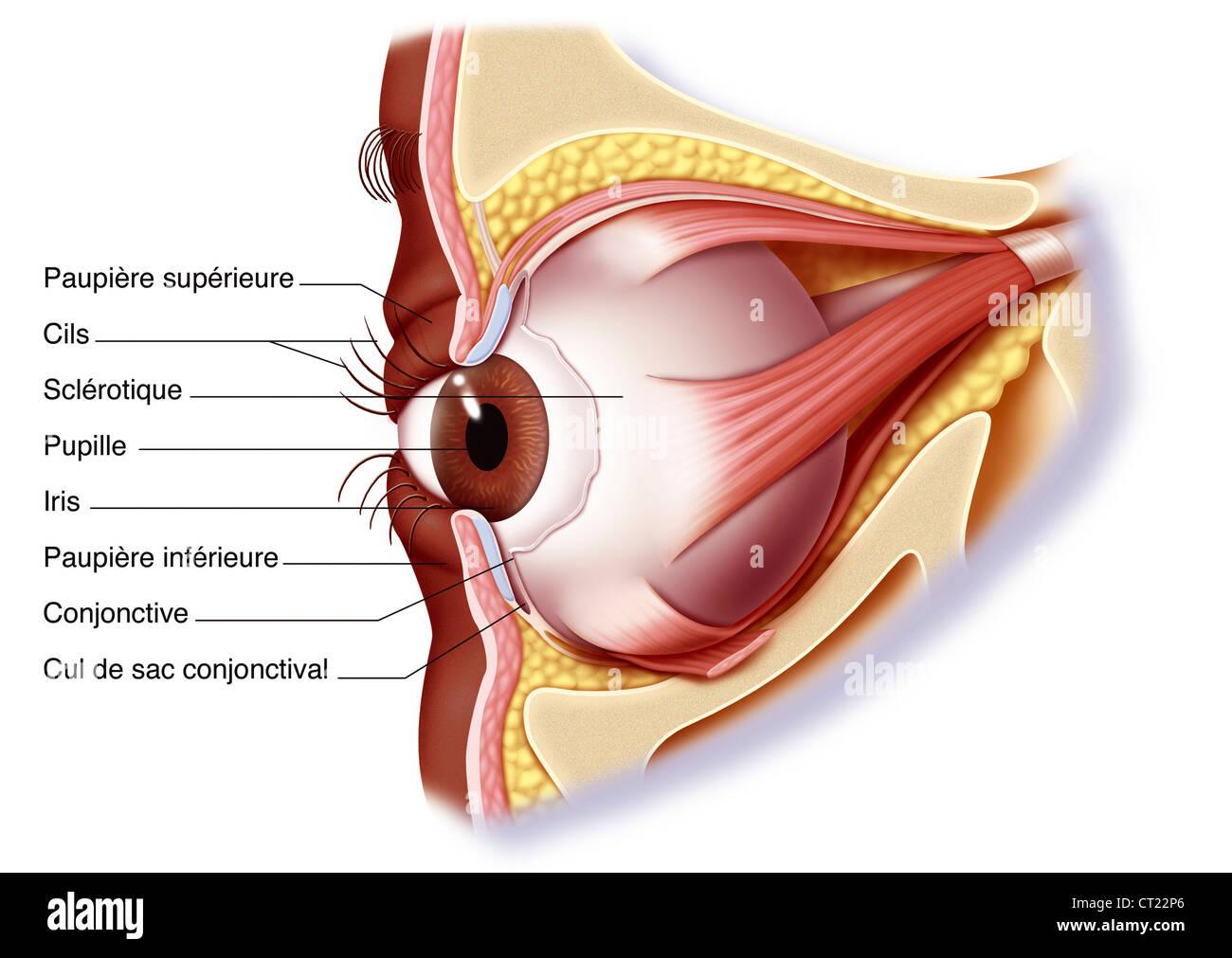 Upper Eyelid Stock Photos & Upper Eyelid Stock Images - Alamy