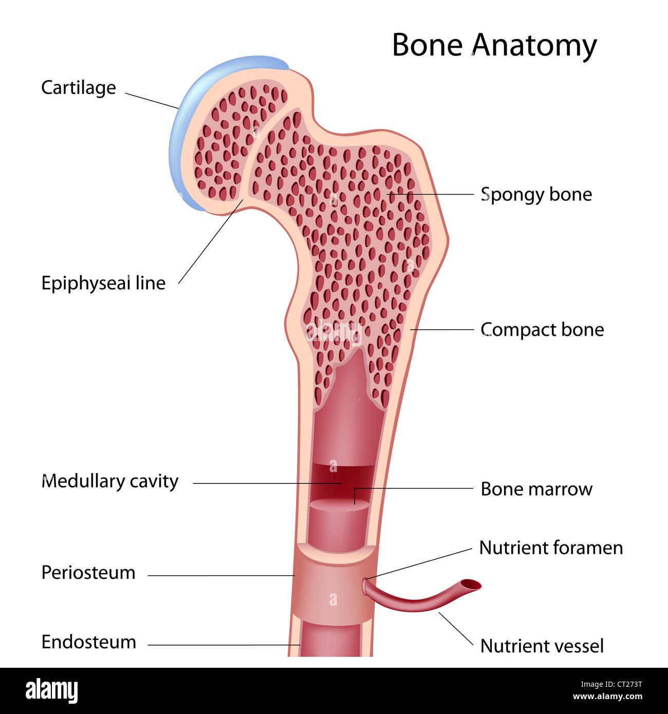 Compact Bone Tissue Stock Photos & Compact Bone Tissue Stock Images ...