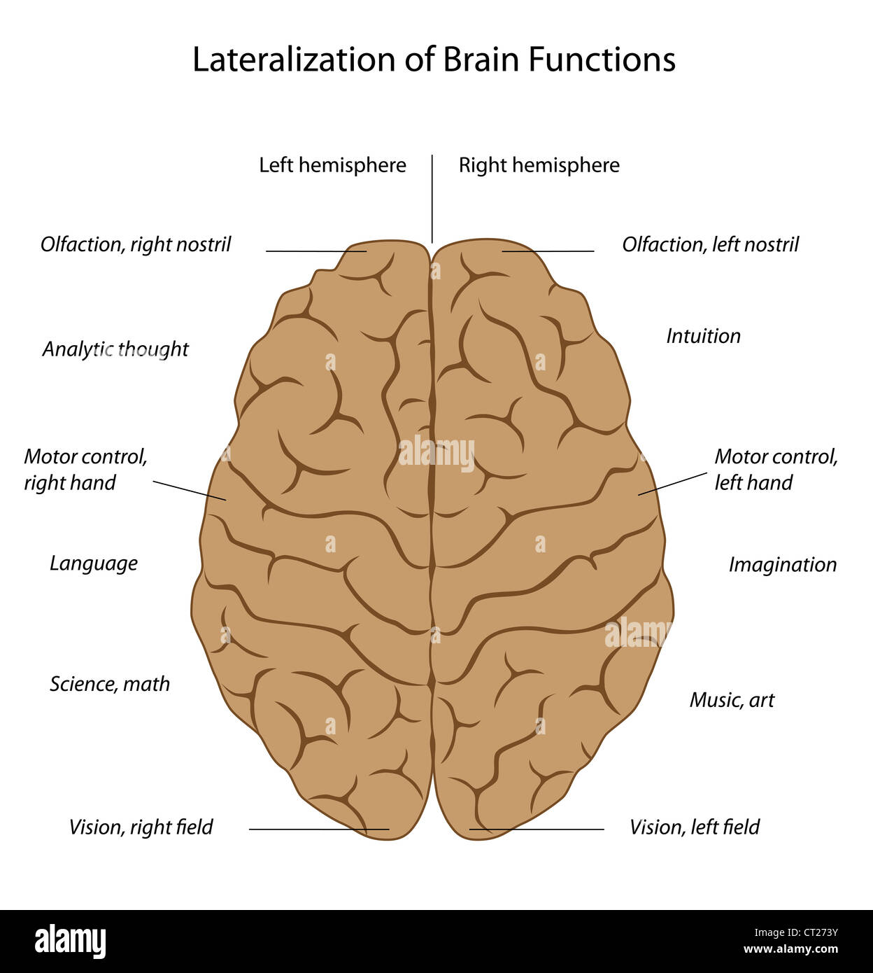 Functions of the brain - Stock Image