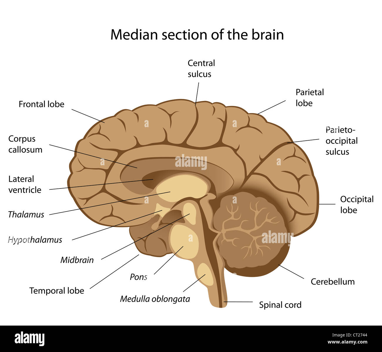 Human brain anatomy - Stock Image