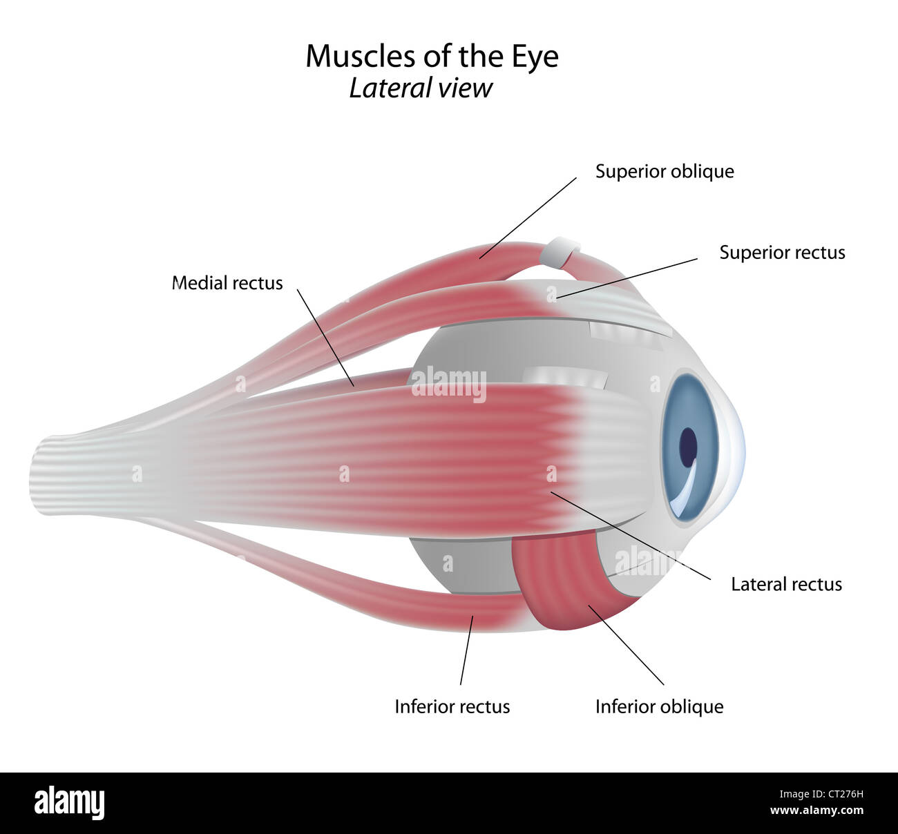 Lateral Rectus Muscle Stock Photos Lateral Rectus Muscle Stock