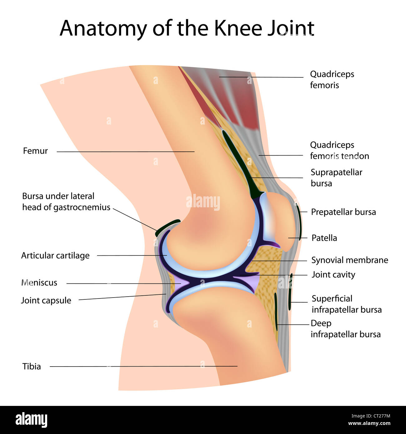 Anatomy of the Knee Joint, labeled Stock Photo: 49222088 - Alamy