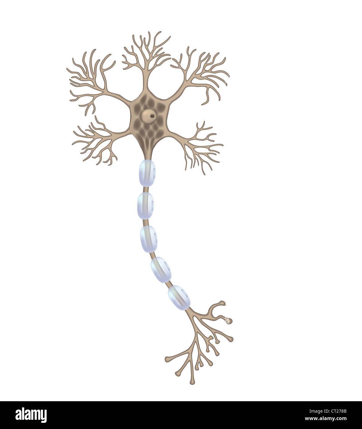 Motor neuron - Stock Image