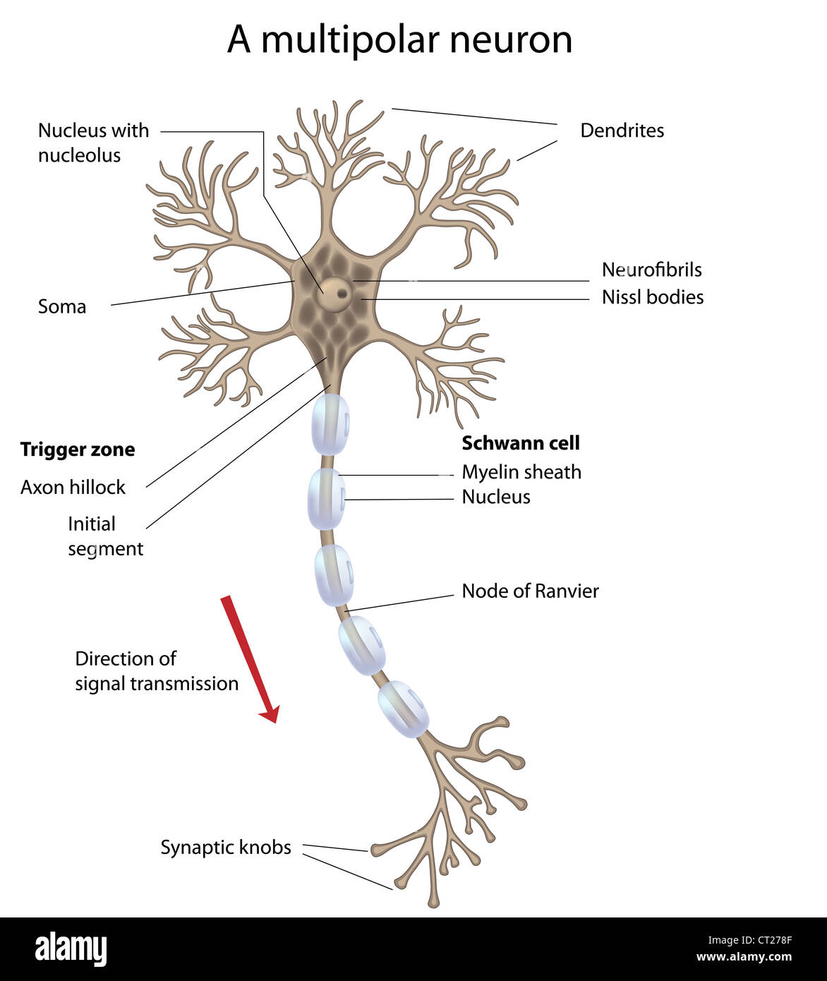 Neuron cut out stock images pictures alamy motor neuron labeled stock image ccuart Choice Image