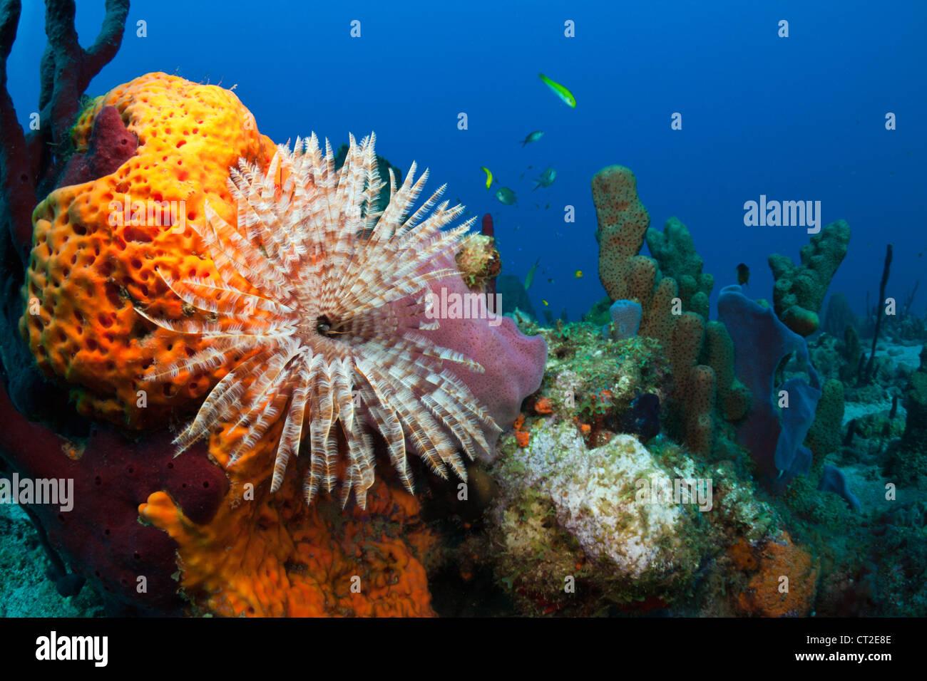 Caribbean Coral Reef, Caribbean Sea, Dominica Stock Photo