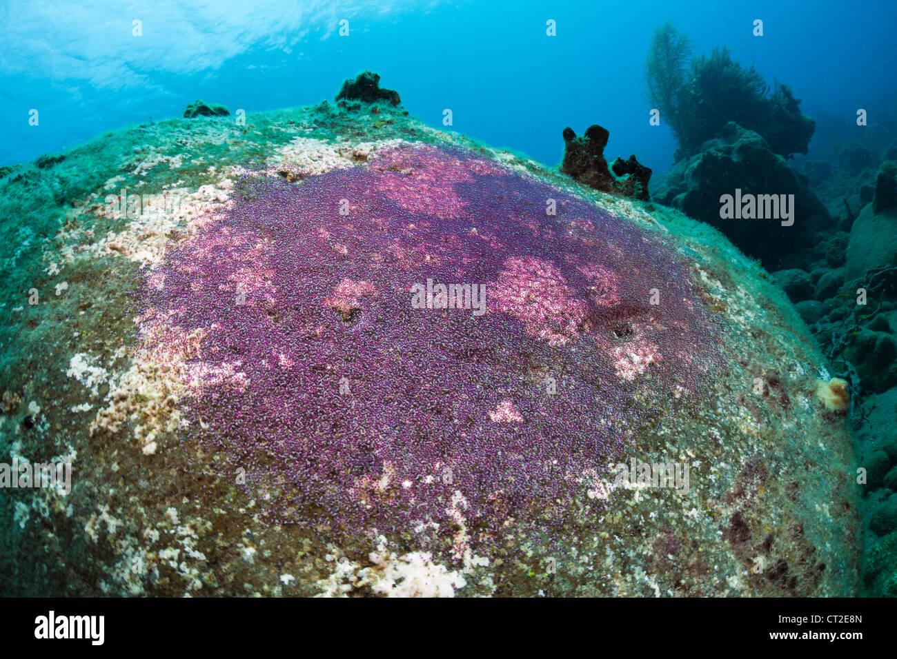 Fish Eggs on Rock, Caribbean Sea, Dominica - Stock Image