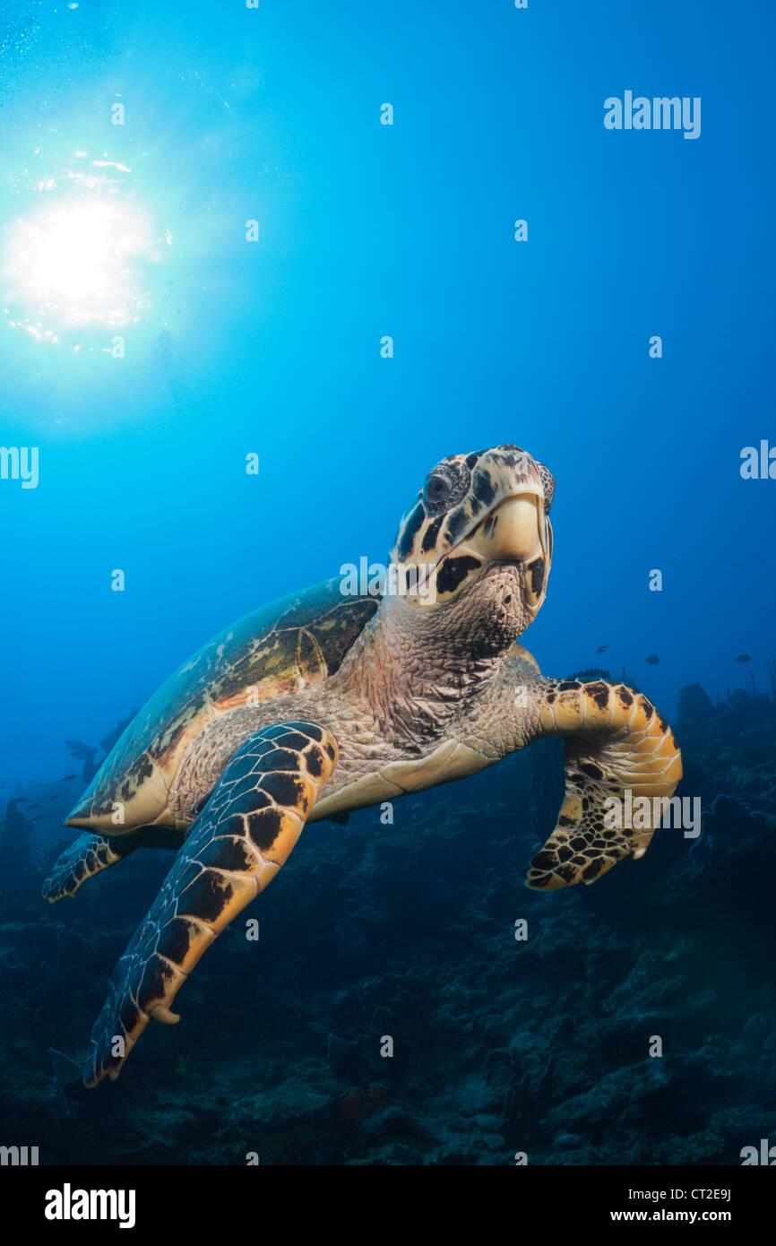 Hawksbill Turtle, Eretmochelys imbriocota, Caribbean Sea, Dominica - Stock Image