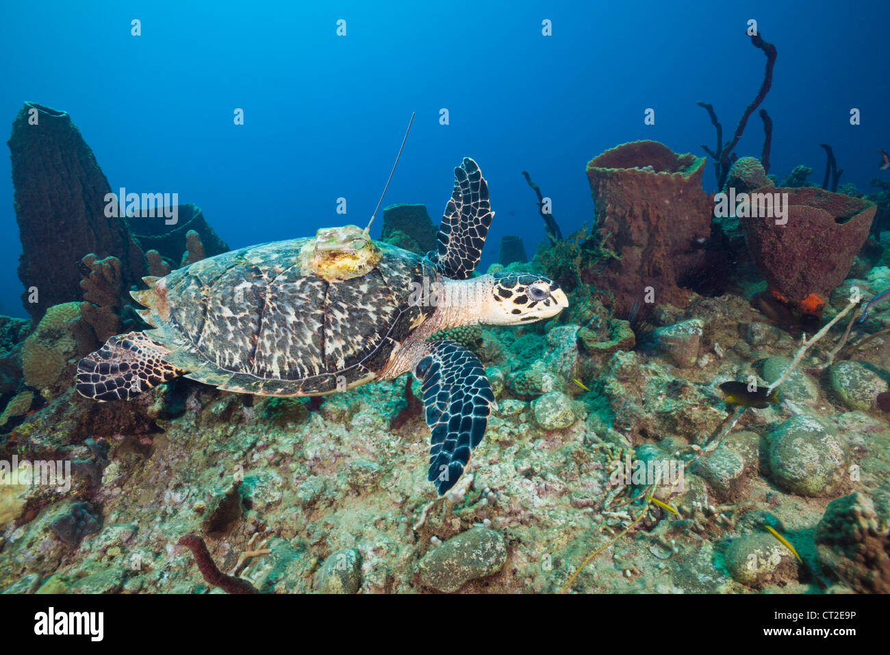 Hawksbill Turtle tagged with Transmitter, Eretmochelys imbriocota, Caribbean Sea, Dominica Stock Photo