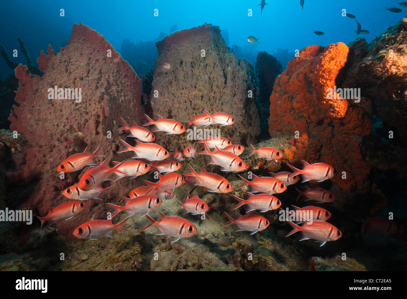 Soldierfish on Coral Reef, Myripristis jacobus, Caribbean Sea, Dominica - Stock Image
