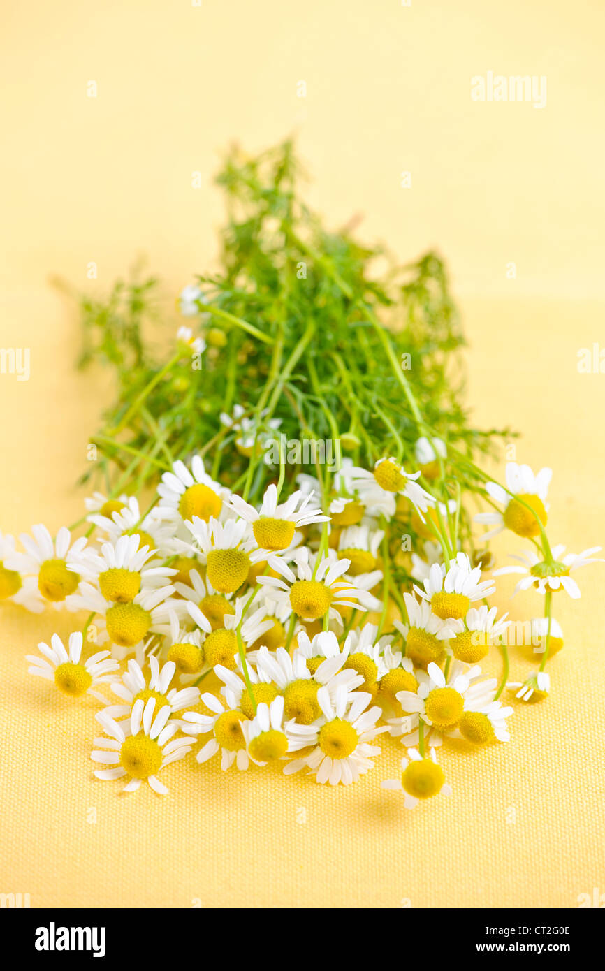 Bunch of fresh chamomile flowers on yellow background - Stock Image