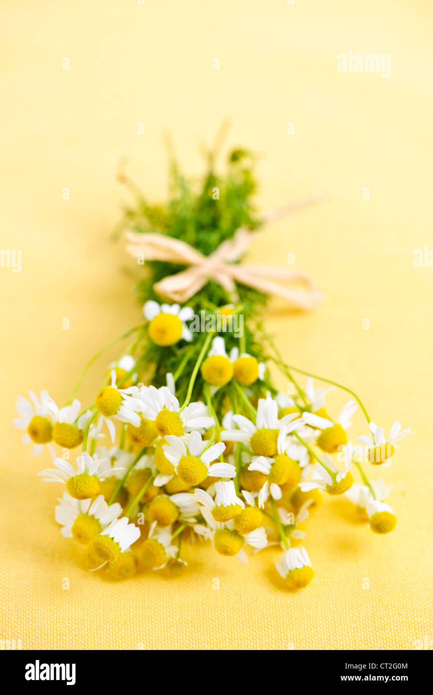 Bunch of fresh chamomile flowers on yellow background tied with bow - Stock Image