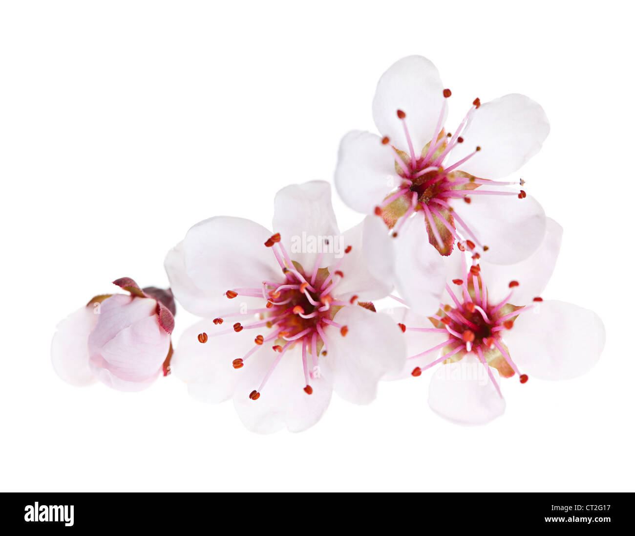Cherry blossom flowers close up isolated on white background - Stock Image