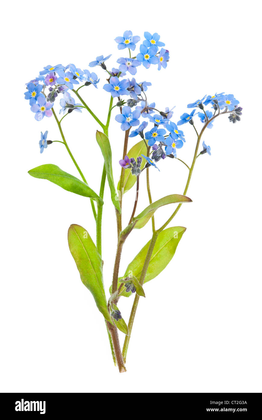 Arrangement of forget-me-not flowers with leaves isolated on white background - Stock Image