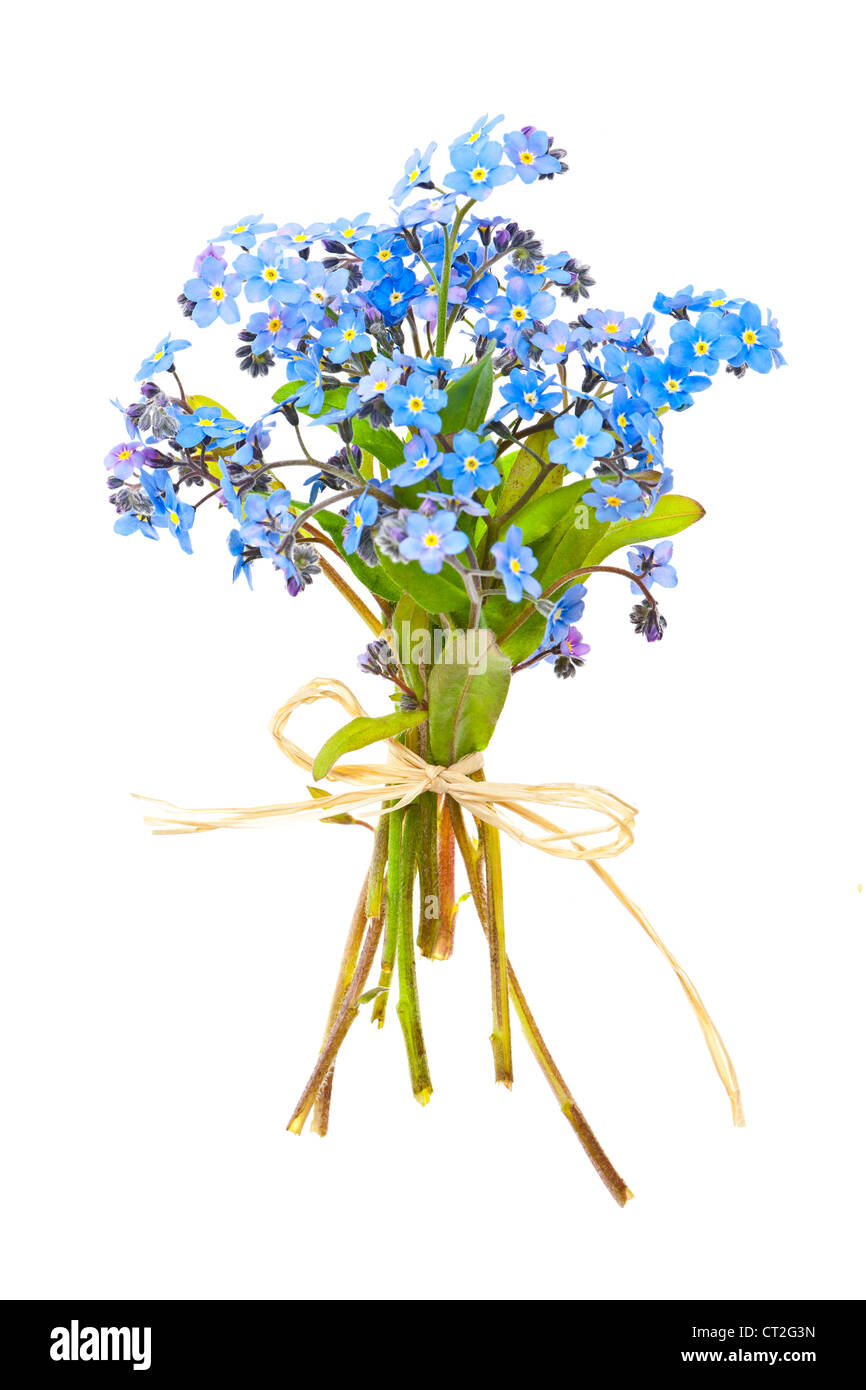 Bouquet of blue wild forget-me-not flowers tied with bow isolated on white Stock Photo