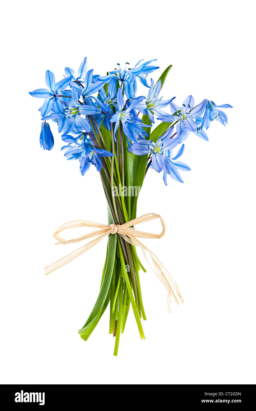 Glory-of-the-snow spring flowers bouquet isolated on white background - Stock Image