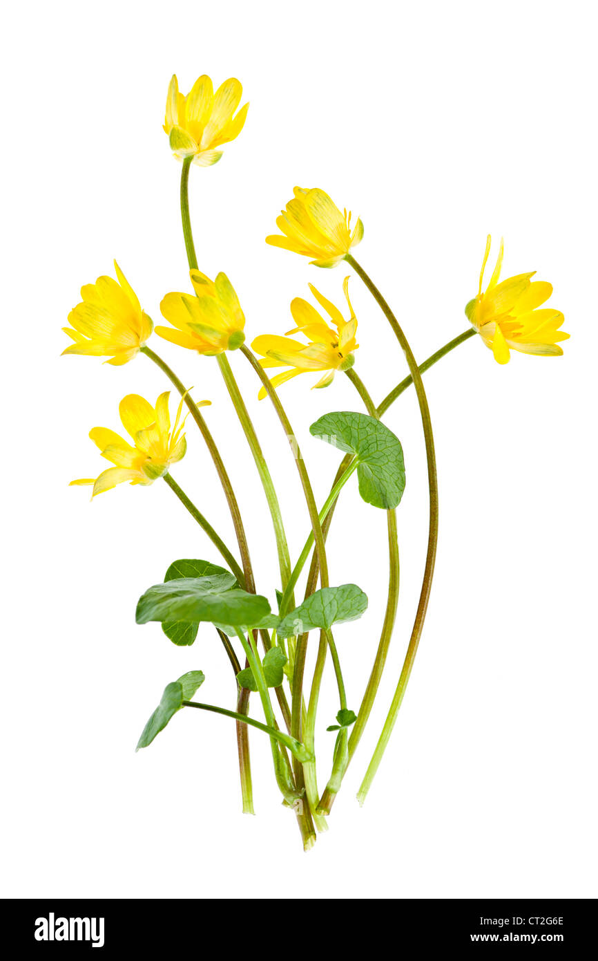Yellow Lesser Celandine flowers in spring isolated on white background - Stock Image
