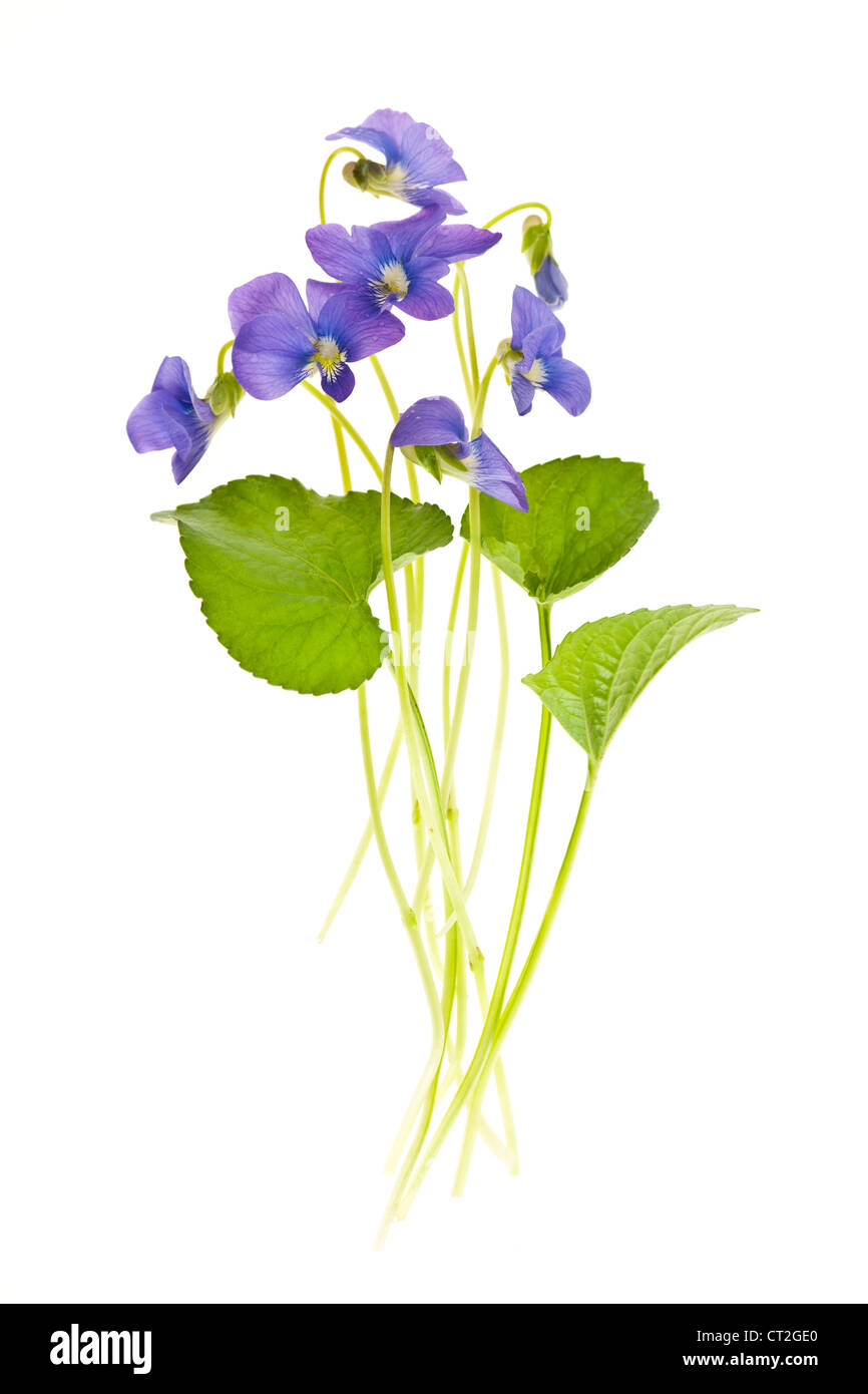 Arrangement of spring purple violets with leaves isolated on white background - Stock Image