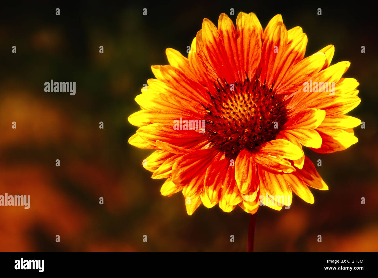 Photograph of a Gaillardia aristata (blanketflower or firewheel), that was photographed in Vista, California. - Stock Image