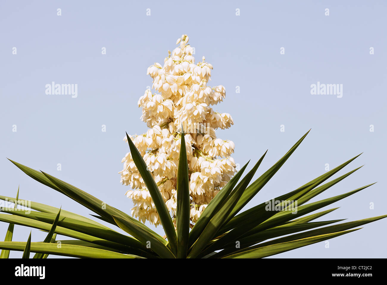Yucca filamentosa, commonly known as Adam's needle in flower - Stock Image