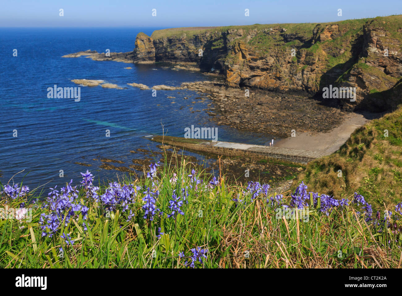View east along rocky coastline from Dunnet Head with Bluebell flowers flowering in early summer. Brough Caithness - Stock Image