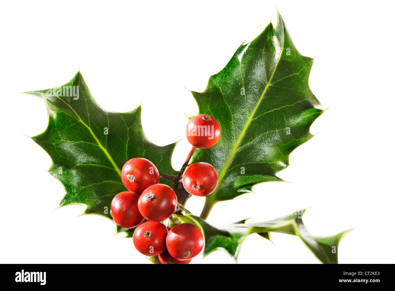 Holly branch with berries, isolated - Stock Image