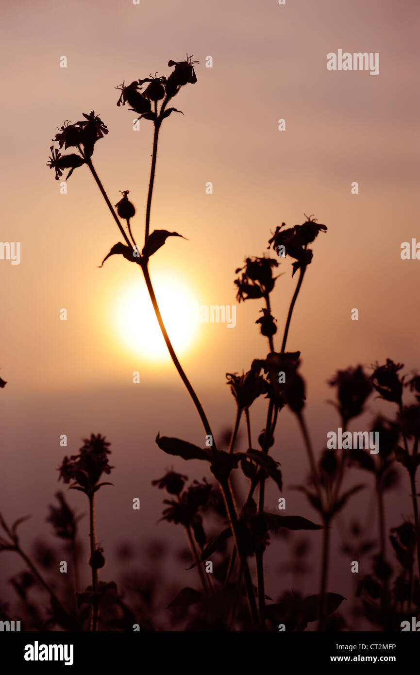 Red Campion, silene dioica, flower spike silhouetted at dusk , Norfolk, UK, May Stock Photo