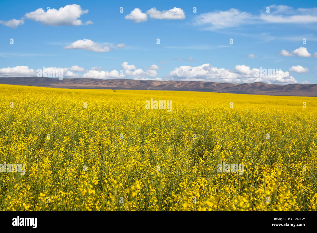 Yellow Canola Oil Seed Flower Stock Photos Yellow Canola Oil Seed