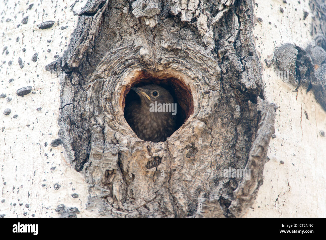 A nestling Mountain Bluebird in it's nest cavity just prior to fledgling - Stock Image