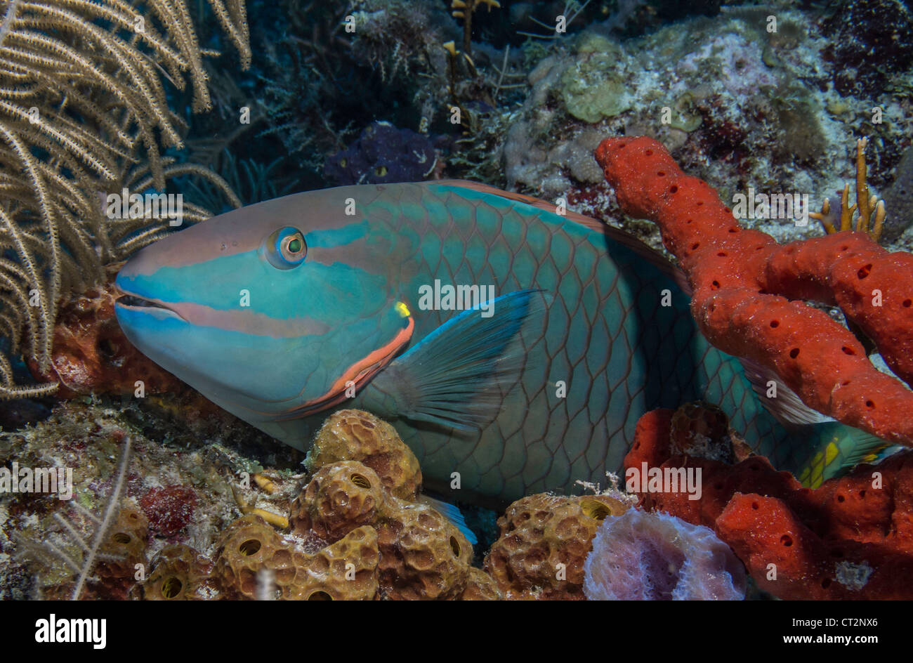 Stoplight Parrotfish resting amid corals and sponges - Stock Image