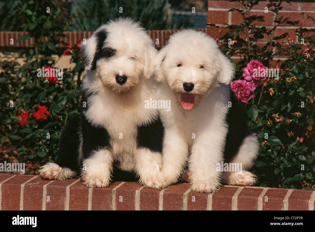 Black And White Sheepdog Stock Photos & Black And White