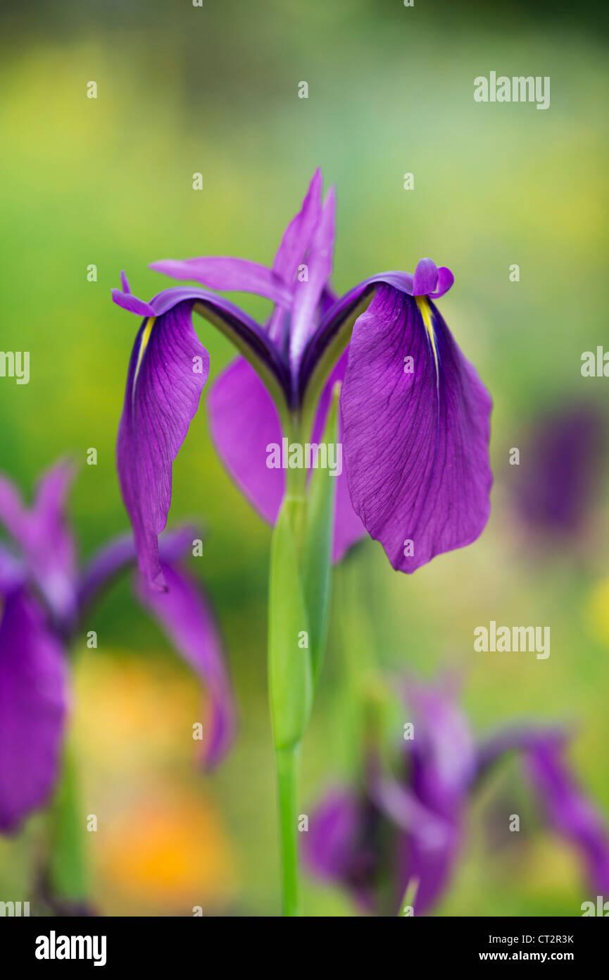 Iris ensata spontanea. Japanese Water Iris - Stock Image