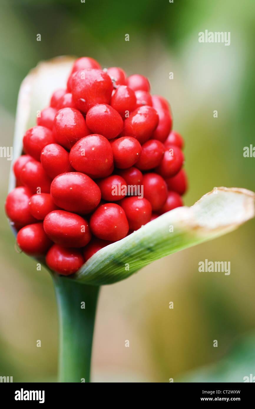 Arum macalatum, Lords and ladies - Stock Image