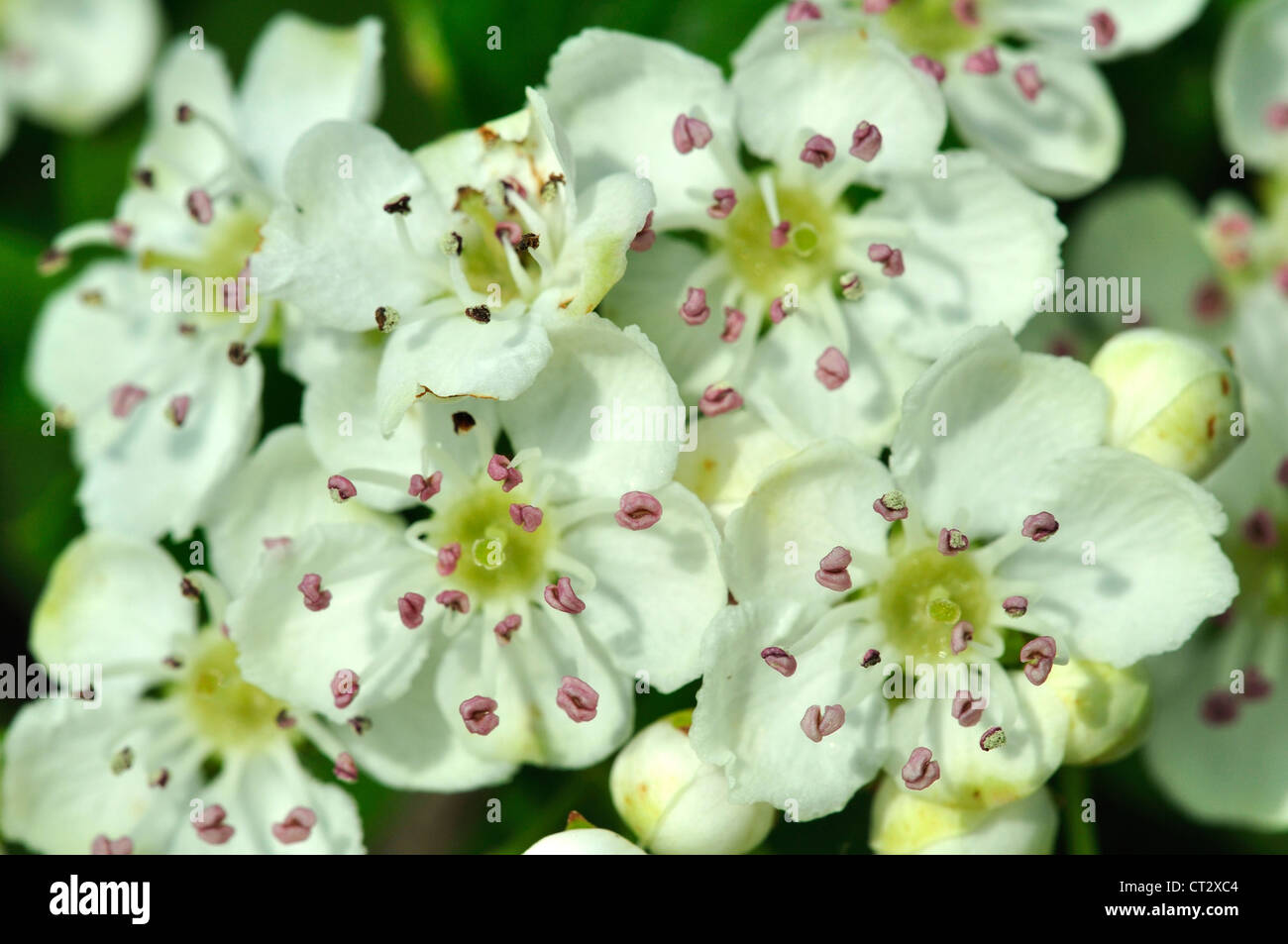 A close-up of hawthorn blossom in Spring UK - Stock Image