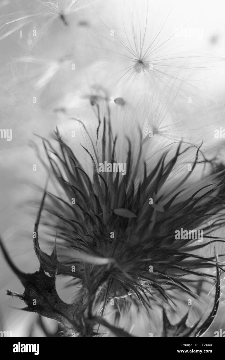 Cirsium vulgare, Thistle, Spear thistle, Scotch thistle, Bull thistle Stock Photo