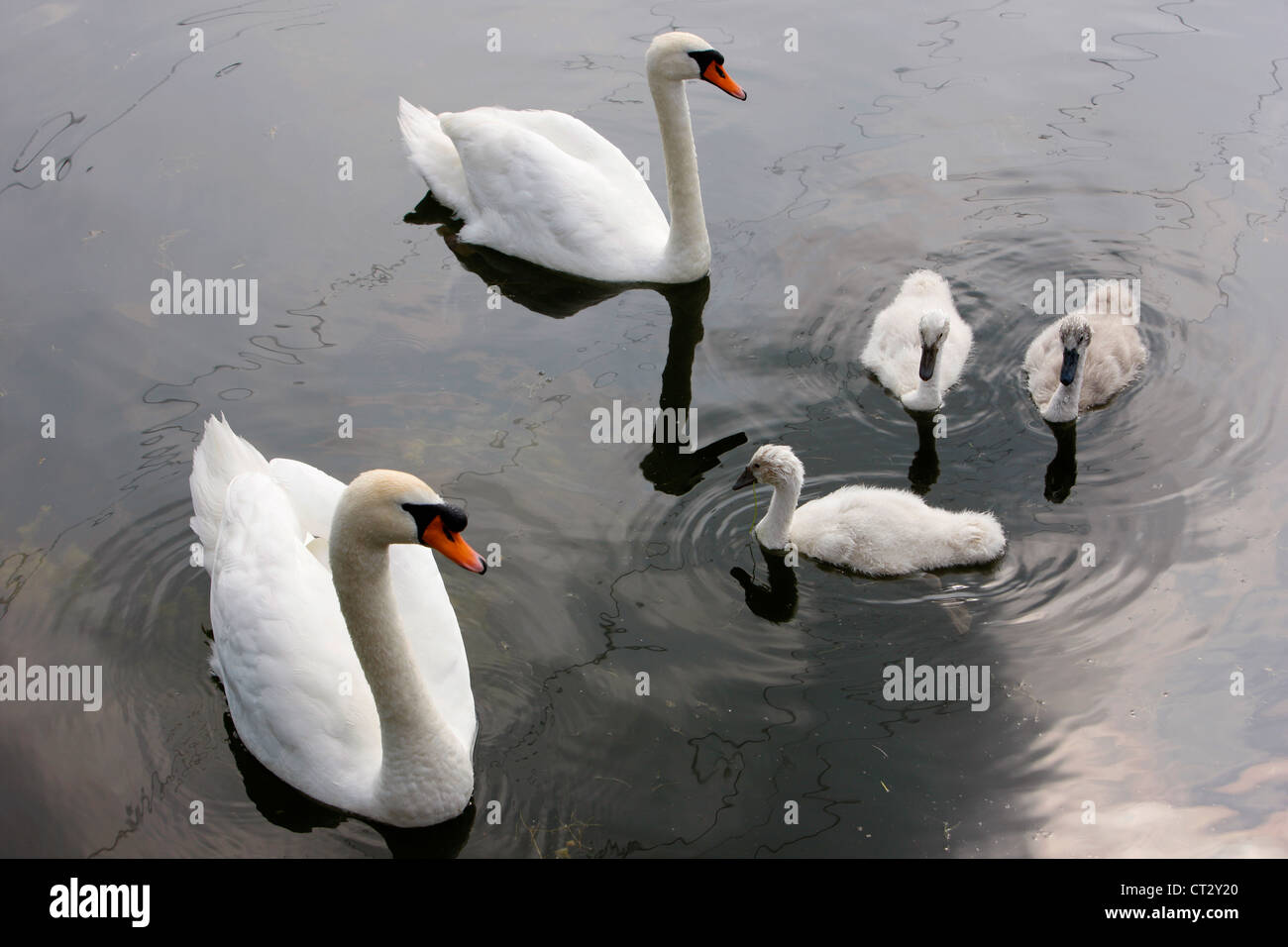 Mute Swana (Cygnus olor), with juveniles on a pond. - Stock Image