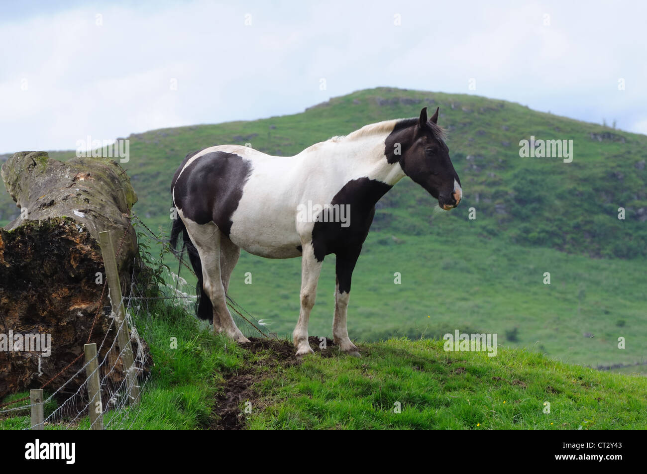 Black and white horse in a field in Scotland. - Stock Image