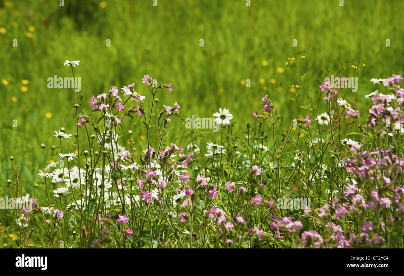 Silene dioica, Campion, red Stock Photo