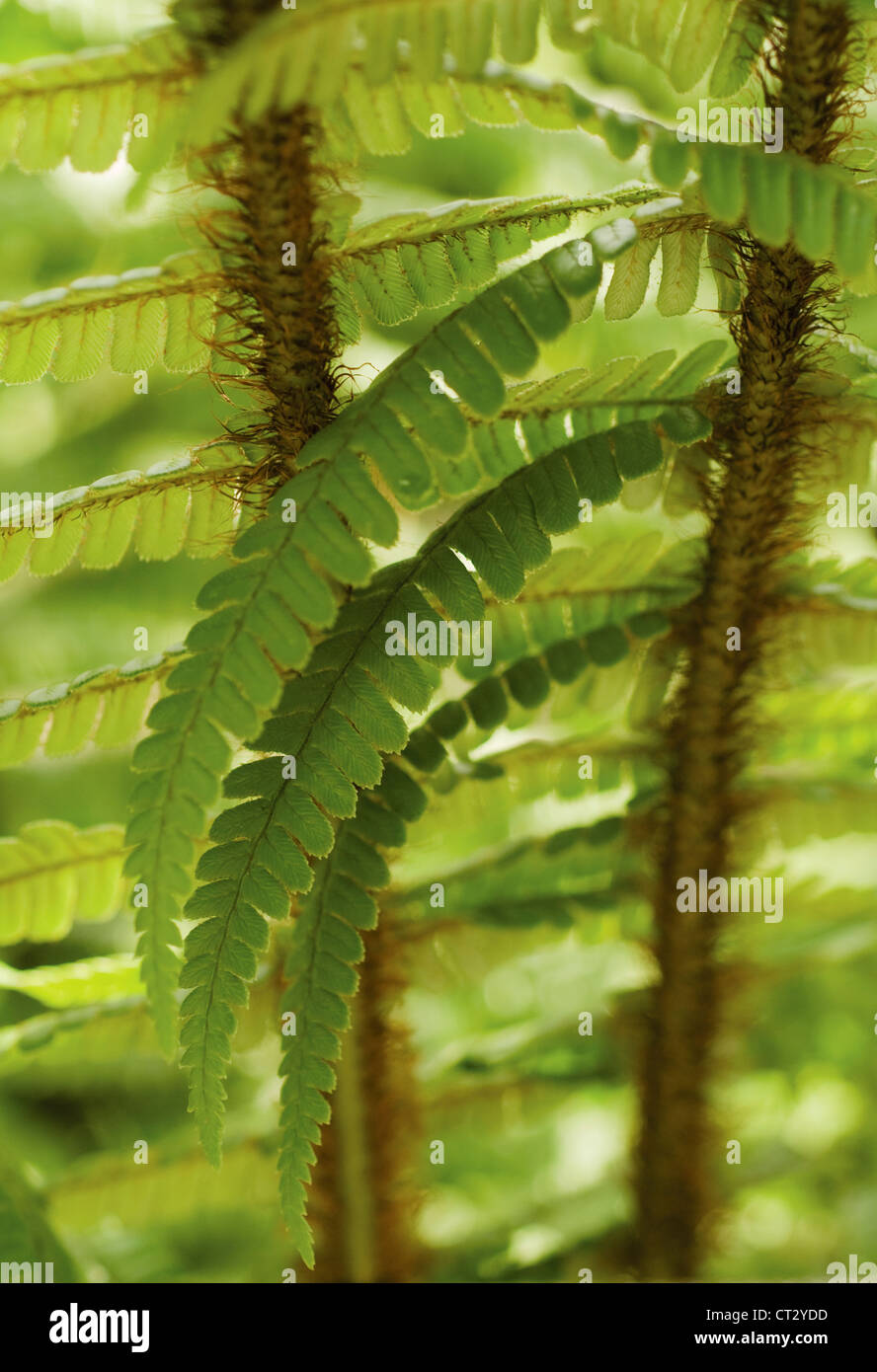 Dryopteris wallichiana, Fern, Wallich's wood fern, close up detail of green fronds. - Stock Image