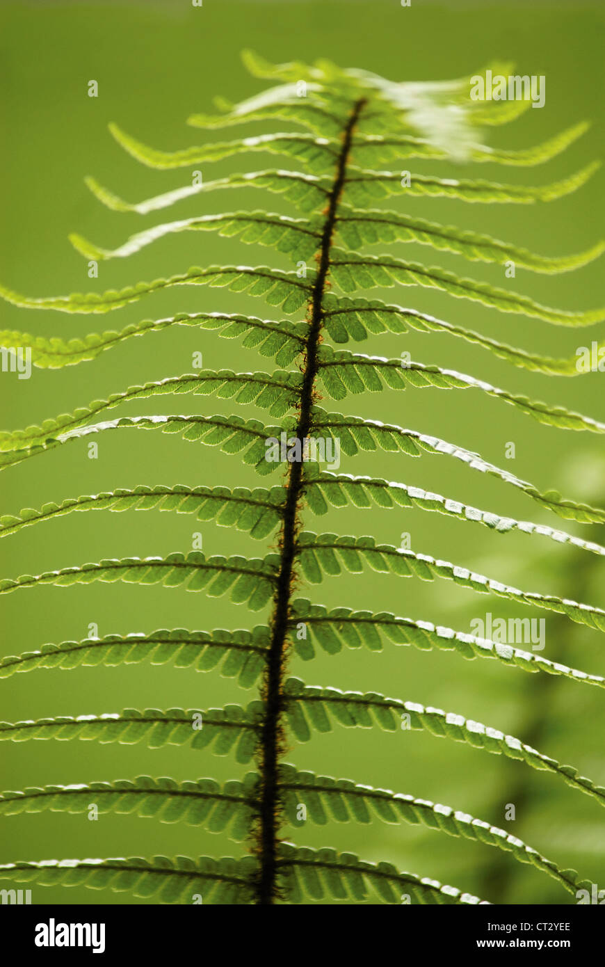 Dryopteris wallichiana, Wallich's wood fern, single green upright frond against a green background. - Stock Image